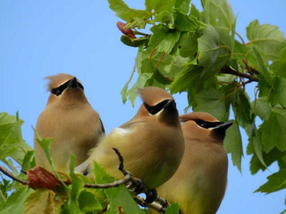 Flock of 100 or more Cedar Waxwings