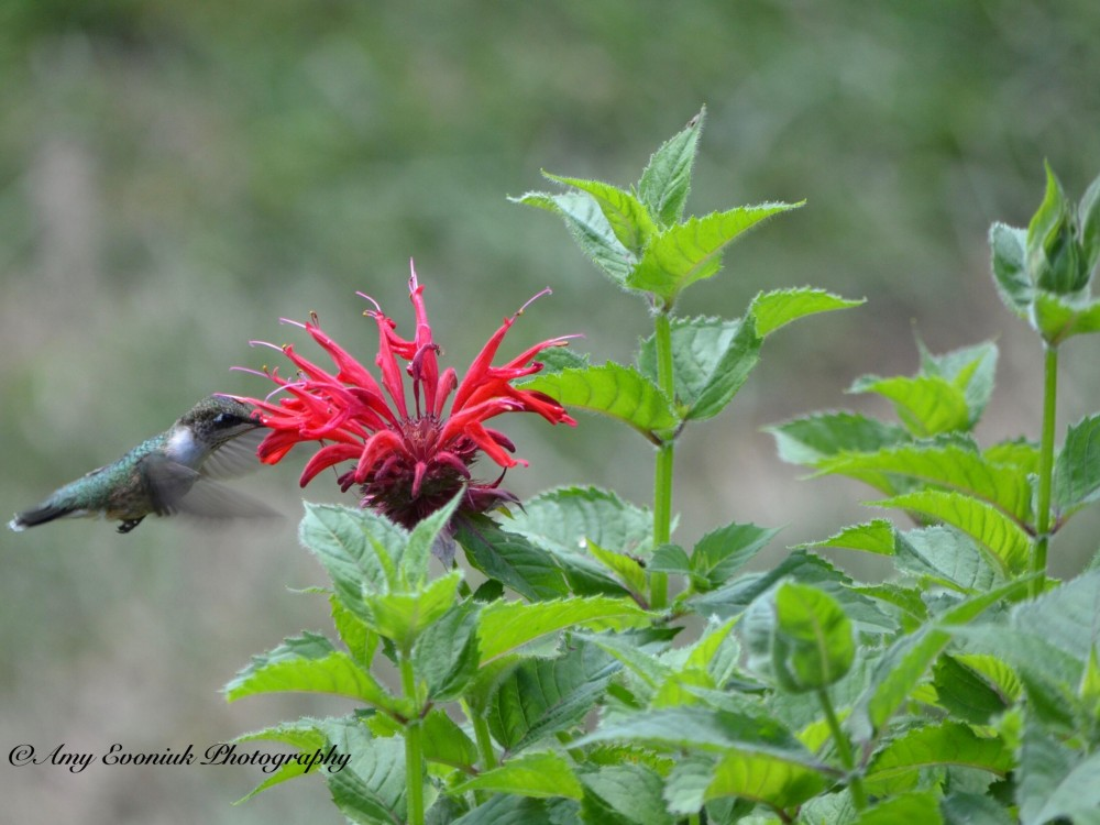 Hummingbird nectaring on Bee Balm