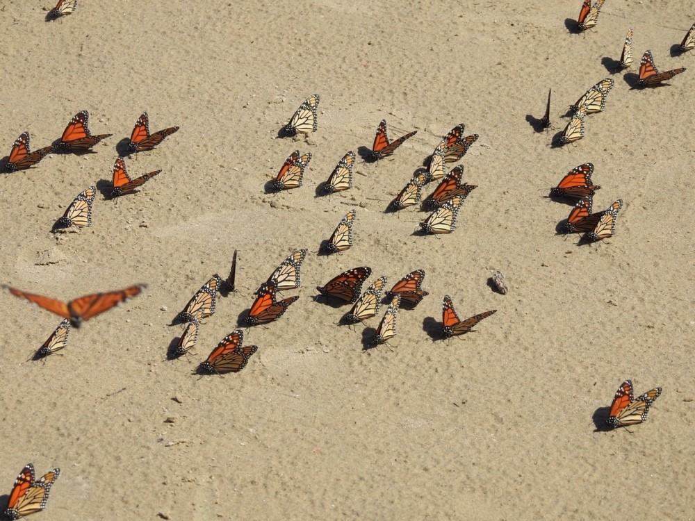 directional flight and resting of monarchs