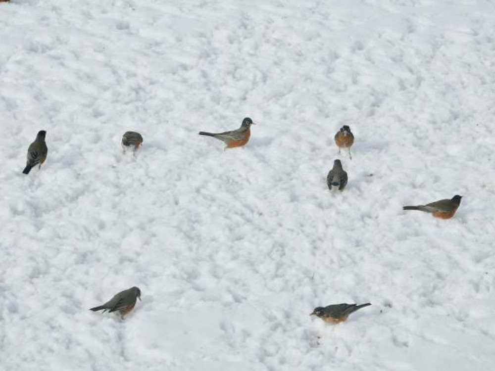 flock of spring robins