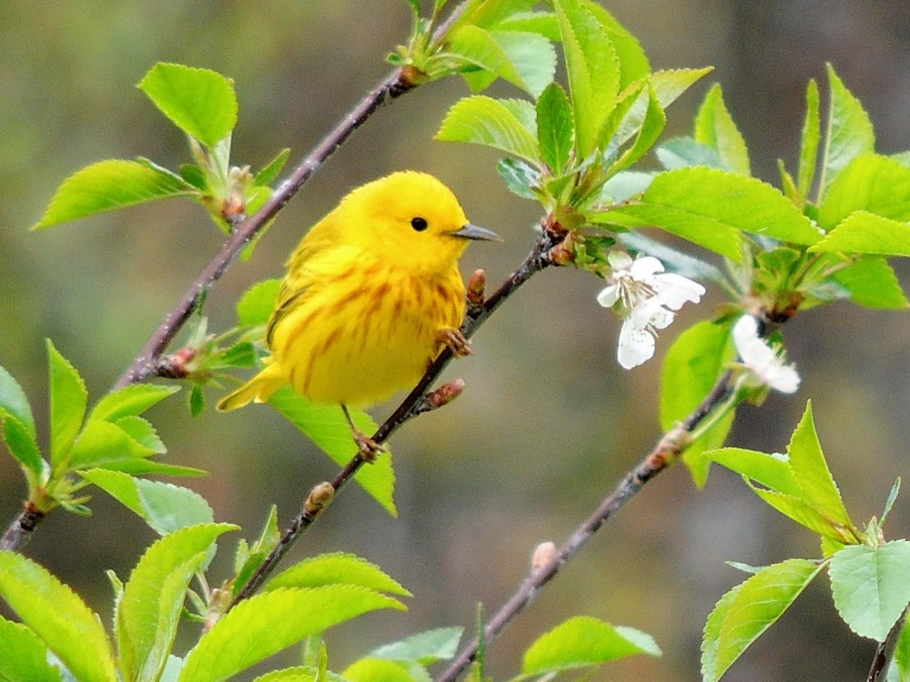 Yellow warbler on a branch.