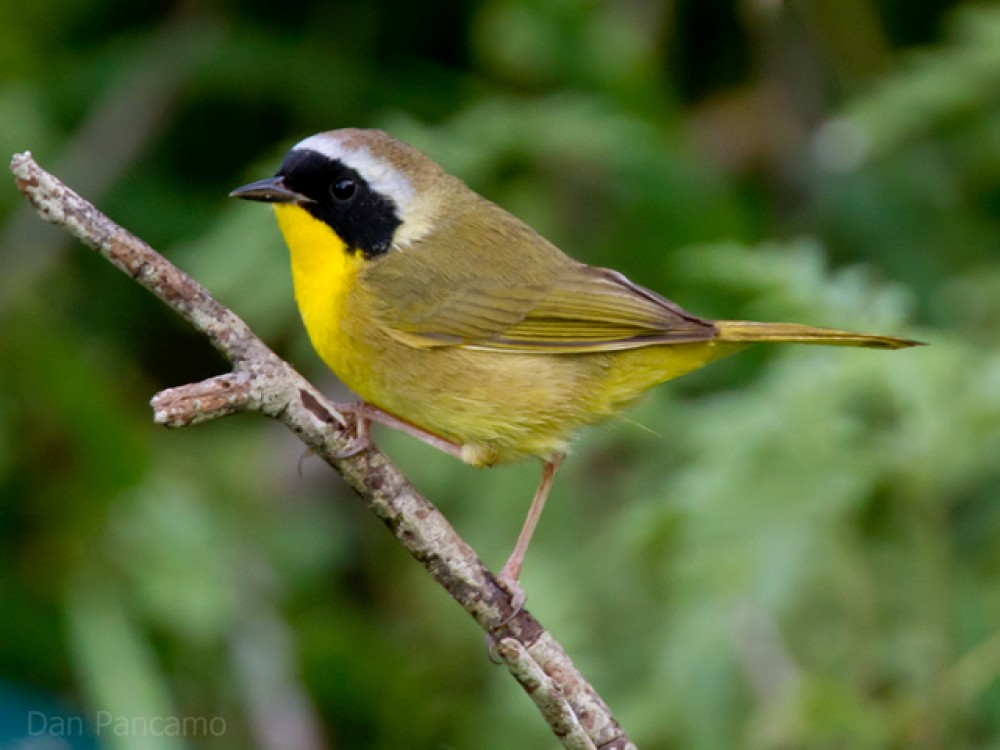 Common Yellowthroat on a branch.