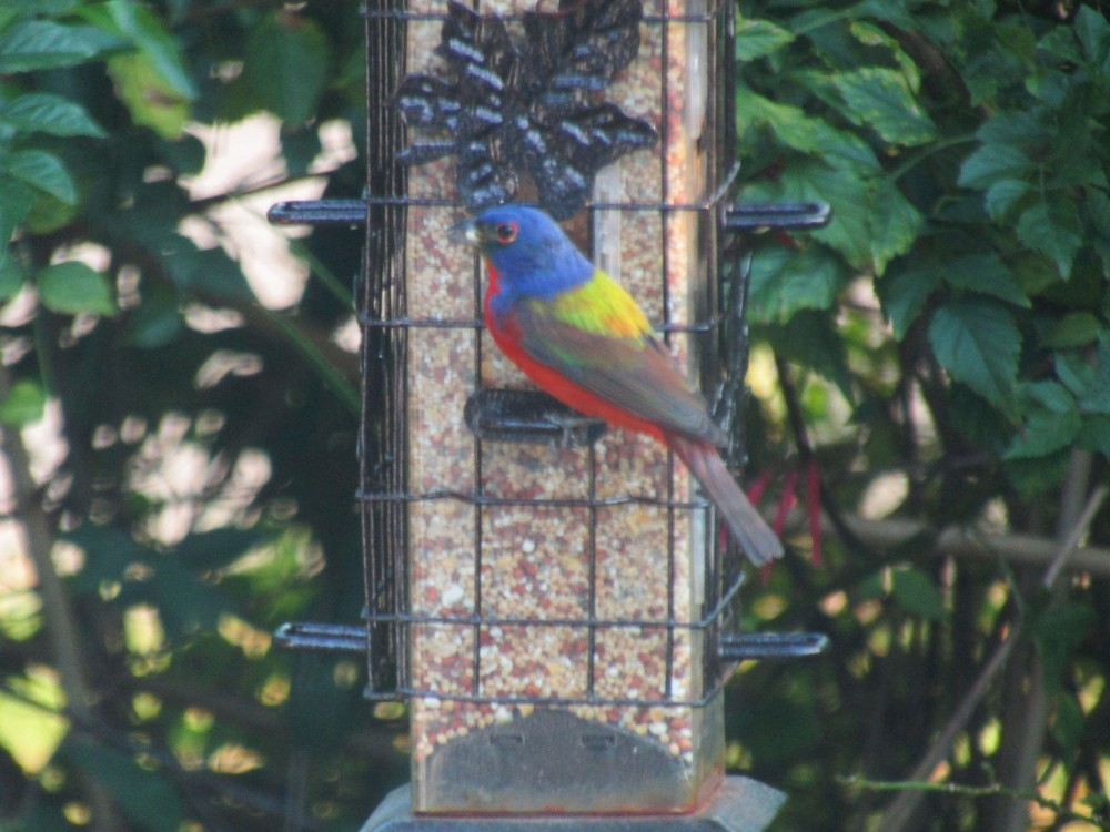 Painted Bunting at feeder.