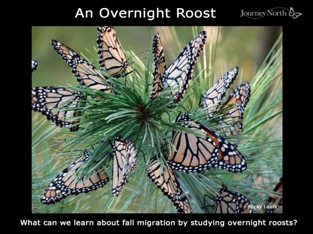 Journal: Monarch Roosts