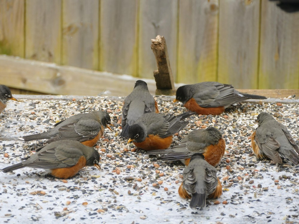 Robins feeding in Missouri