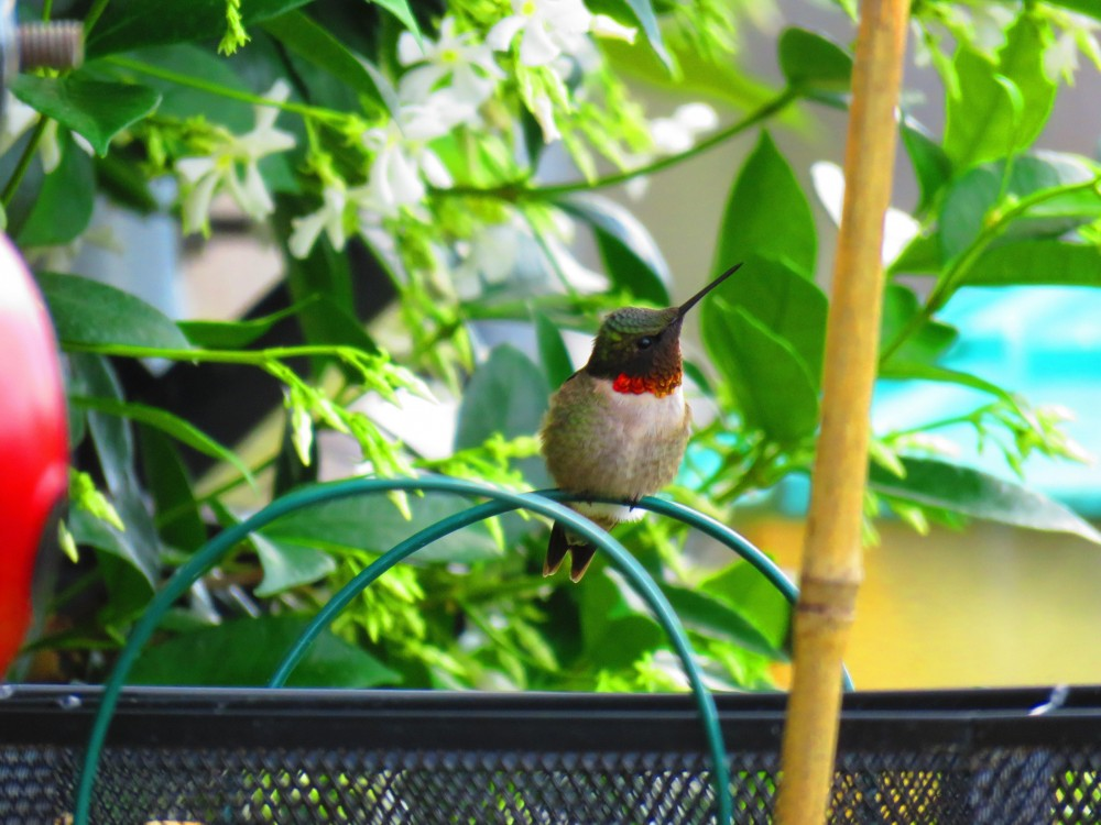 Male Ruby-throated Hummingbird.