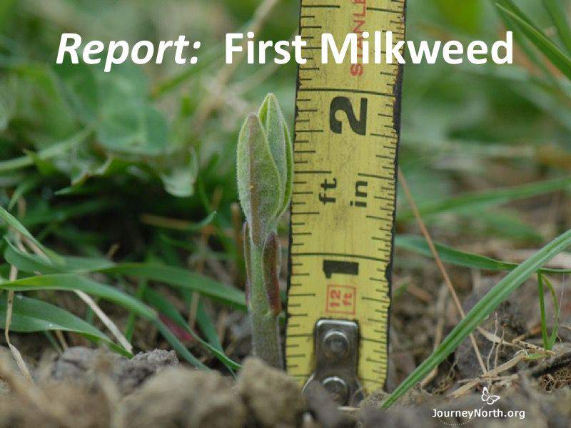 Report: 1st Milkweed of Spring