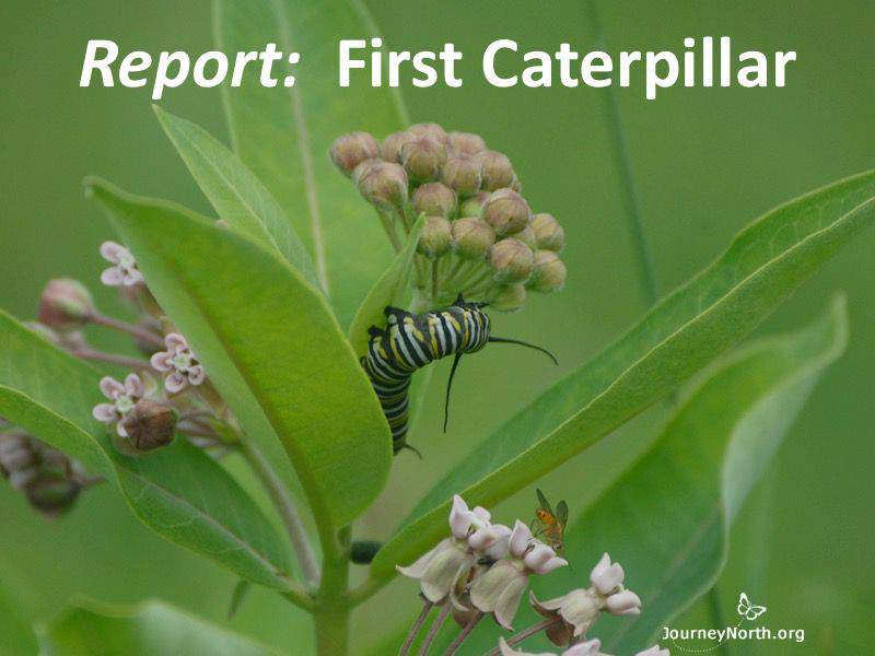 Report: 1st Monarch Butterfly Caterpillar
