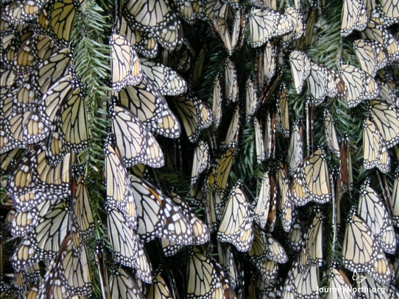 When temperatures are cool, the butterflies may not move for hours or even days. Why do the monarchs migrate to such a cold place?