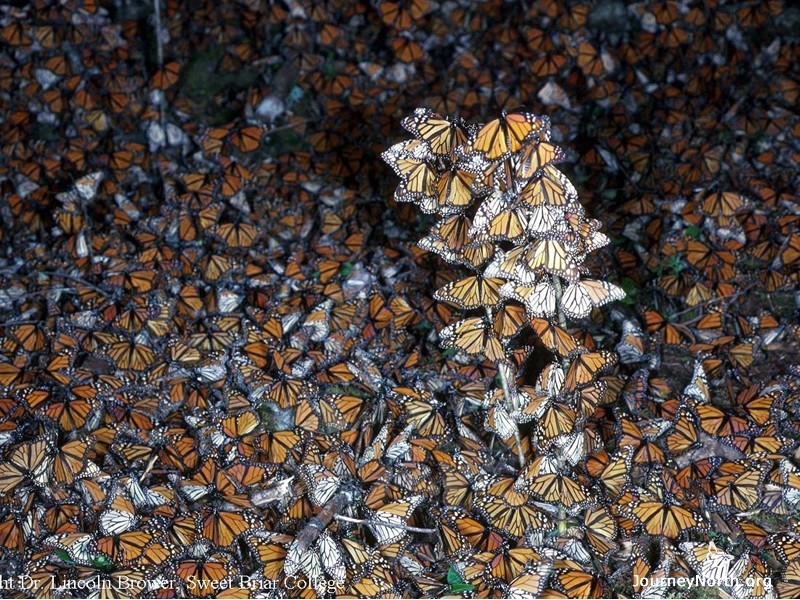 Sometimes a strong wind blows an entire cluster to the ground. It may take several days for them to climb back into their clusters. Why do the monarchs need to get off the ground?