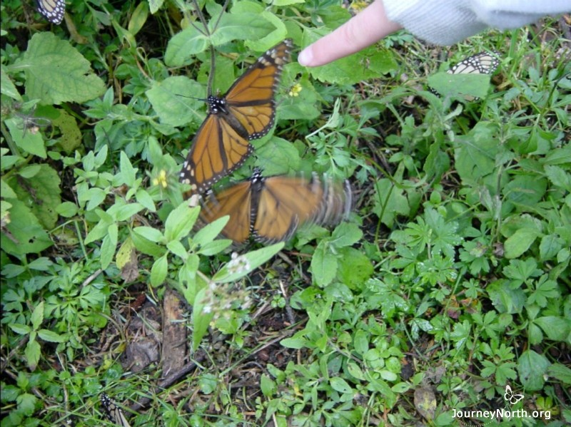The forest floor is often littered with shivering butterflies. Shivering uses a lot of energy. How can shivering help a monarch survive?