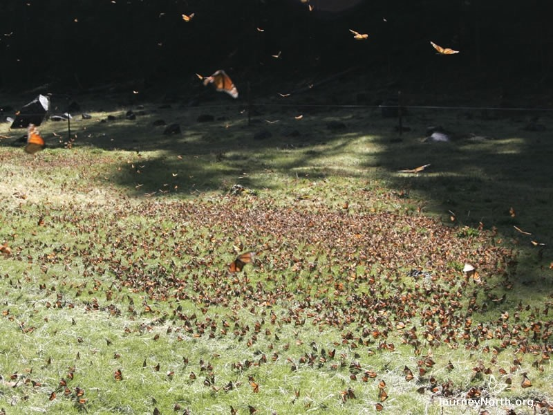 As the morning frost melts, thirsty butterflies leave their colonies for water. How much water do overwintering monarchs need—and where do they find it?