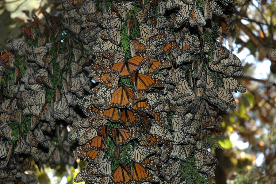 Monarch butterflies arrive in Mexico in November and stay until March. Scientists say they can survive all winter with little or no food at all. How is this possible? Let's explore where monarchs get the energy they need to survive.