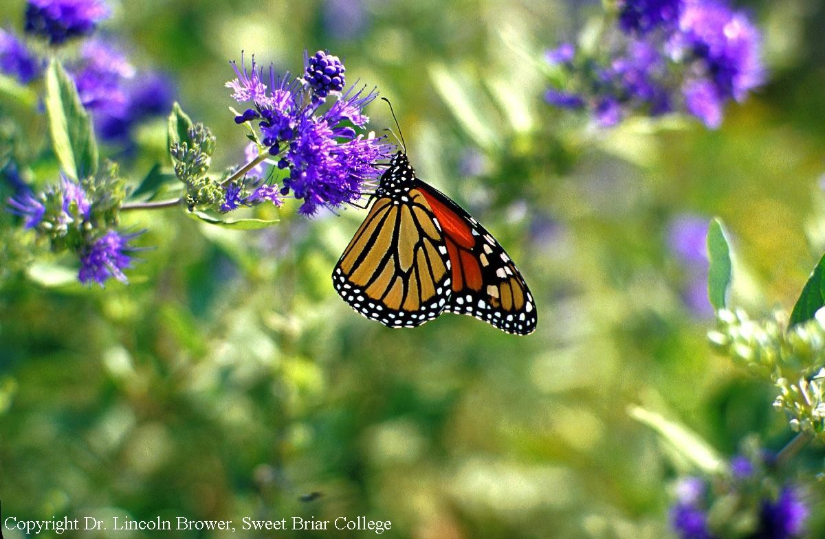 In order to survive the winter, monarchs must obtain energy from milkweed and flowers before they reach Mexico. Next they need the cool temperatures of their Mexican forest to conserve energy. Monarchs need high quality habitat in both places for winter survival.