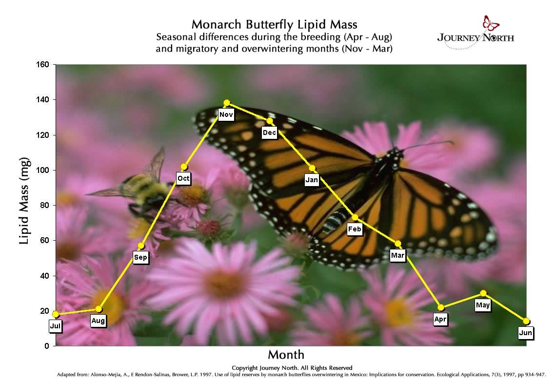 This graph shows how much fat (lipid mass) the typical monarch has in each month of the year. Look how fat reserves change during the five months the monarchs are in Mexico.