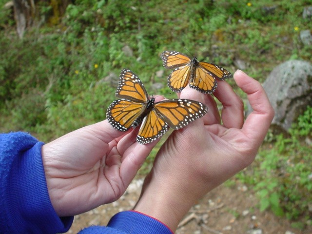 When butterflies arrive in Mexico, some are fat and others are thin. Look at each butterfly's abdomen, where its fat is stored. Which do you think is more likely to survive the winter? Running out of fat is a concern. Monarchs must survive on the food they ate before they went to Mexico.