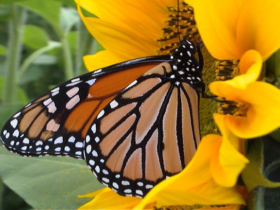 Adult monarch butterflies drink nectar from flowers. Extra food energy is stored as fat in the monarch's abdomen. Monarchs eat hungrily in the fall before—and during—their migration.