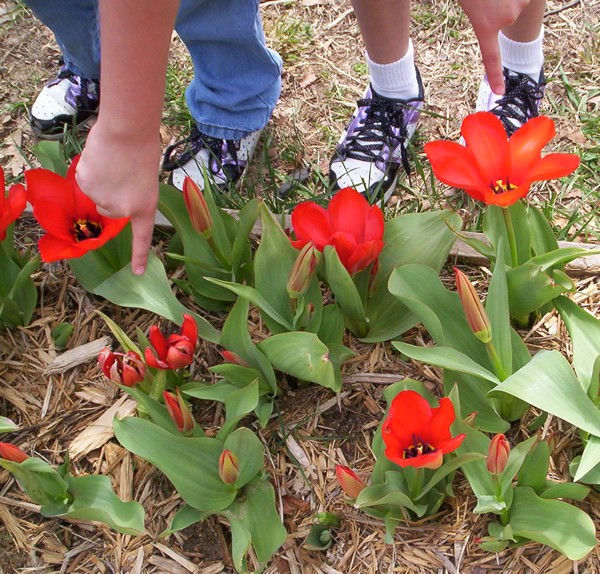 Your bulb will grow underground this winter. In the springtime it will become a beautiful tulip plant with with a big red flower!