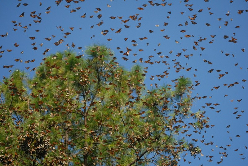 Every fall for hundreds of years, people in our region have witnessed the sudden appearance of monarch butterflies. The monarchs' wondrous arrival carries special meaning, and is tied to our traditions and culture.