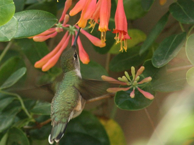 During January, the vast majority of Ruby-throated Hummingbirds are on their wintering grounds in the Southern Hemisphere. They are getting fresh new feathers and molting, but they still need to visit hundreds of flowers every day. Hummingbirds burn energy so fast they often eat 1.5 to 3 times their body weight in food per day. Photo by Joan Garvey