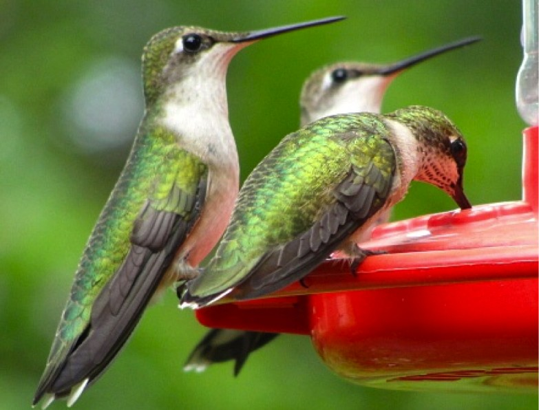 August brings the biggest push south, and hummingbirds are gathering in huge numbers along the Gulf of Mexico. Males arrive there first followed by females and juveniles. Despite this being their first migration, juveniles do not migrate with a parent. By late August, you may only see females and juveniles at your feeders. Photo by Harlen Aschen