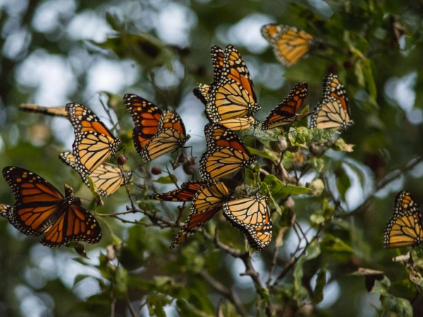 Photo of hundreds of monarch butterflies roosting in Olney, Texas on September 30, 2016