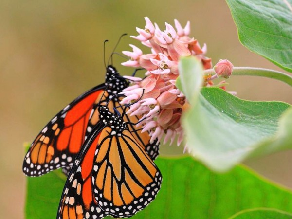 Monarch Butterflies nectaring from Milkweed