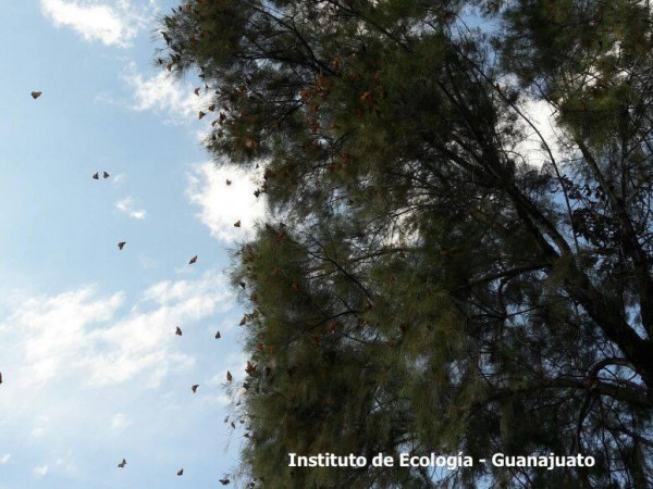 Roosting monarch butterflies resting in Guanajuato