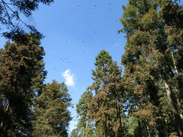 Monarch Butterflies flying at winter sanctuaries in Mexico.