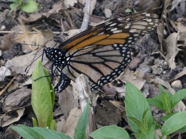 Image of monarch butterfly laying eggs on tiny, newly emerged milkweed.