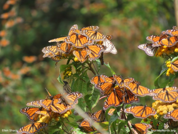 Monarch Butterflies Poise for Departure from Mexico