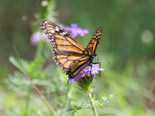 Monarch Butterfly with Worn Wings