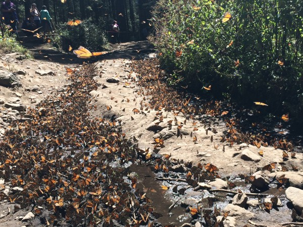 Image of monarch butterflies drinking water at sanctuary in Mexico