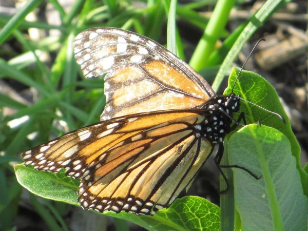 Picture of Monarch Butterfly with very worn wings laying eggs.