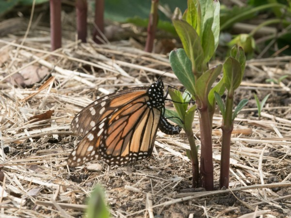 Image of a faded female laying eggs on newly emerged milkweed.