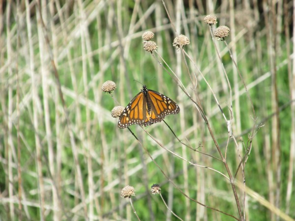 Image of Monarch Butterfly in early May in Minnesota