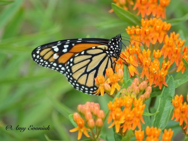 Image of Monarch Butterfly at Milkweed
