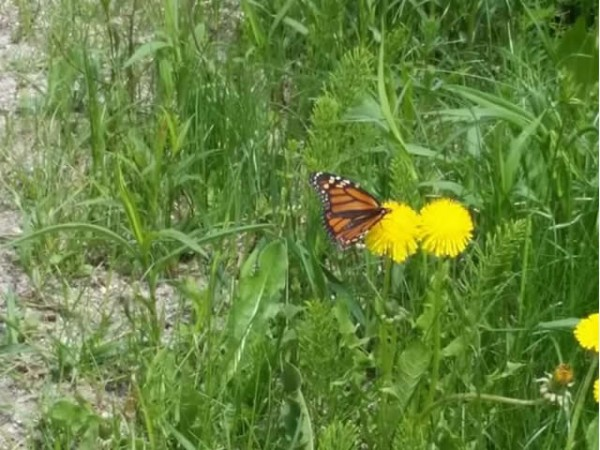 1st monarch butterfly for Vermont in spring migration 2017
