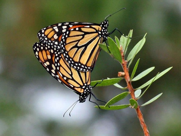 Image of monarch butterflies mating