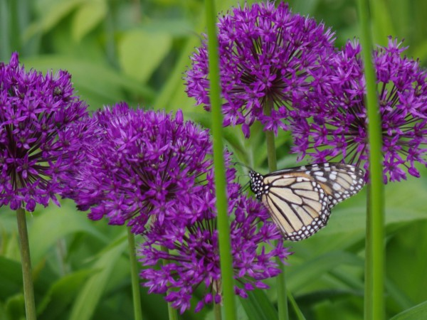 Image of Monarch Butterfly Necaring on Onion
