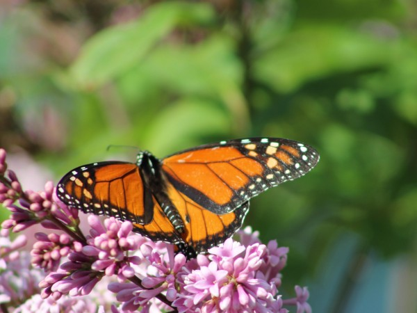 Image of Monarch Butterfly Necaring on Lilacs