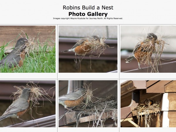 Robins Build a Nest: Photo Gallery