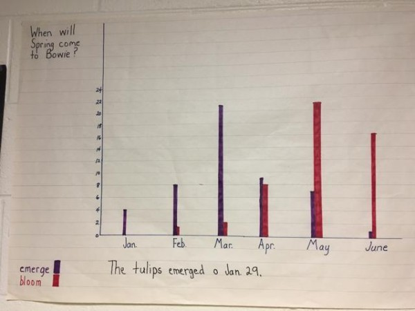 Photo of graph of tulip emerge dates