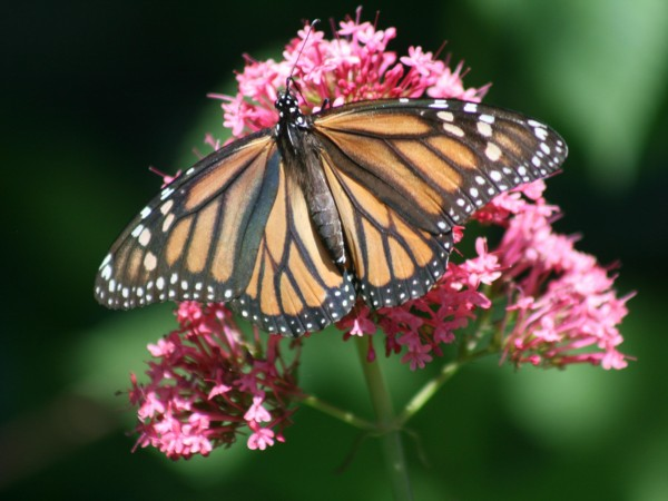 Image of Monarch Butterfly Necaring on Milkweed