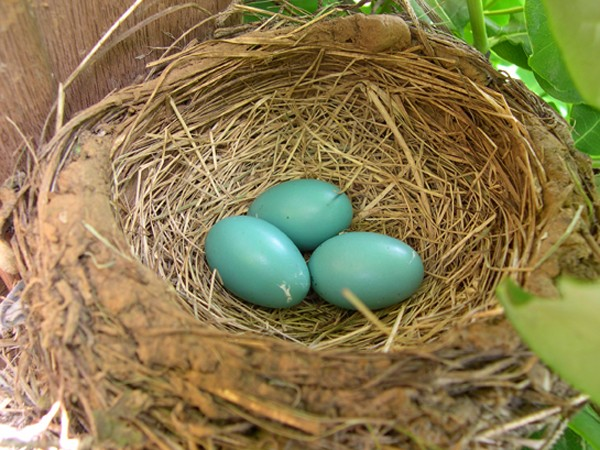 Image of robins eggs in nest