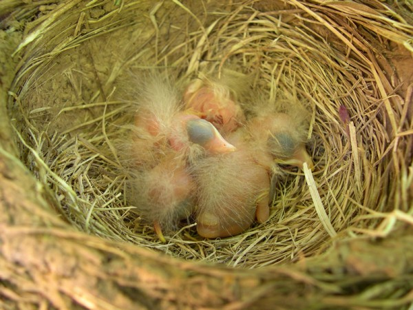 Baby robin in the nest with other hatchlings