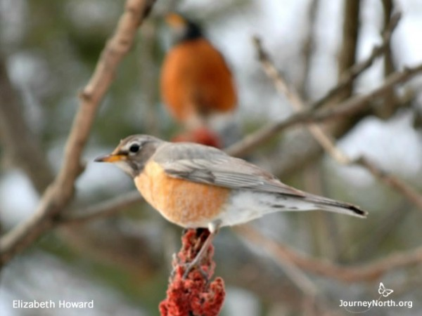 Image of a male and female robin during spring migration.