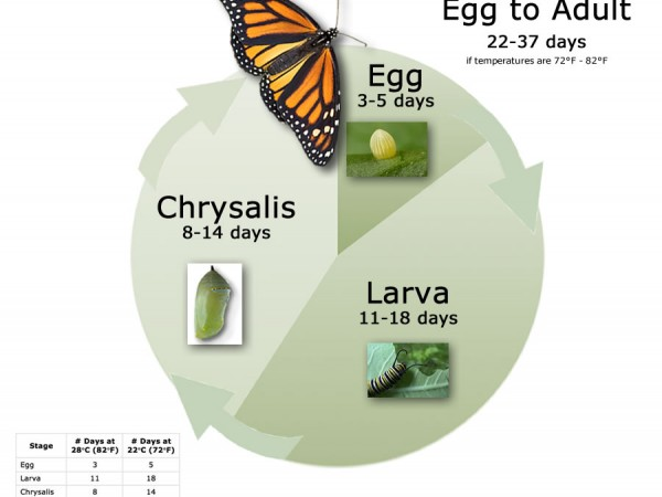 Chart: Monarch Butterfly Life Cycle