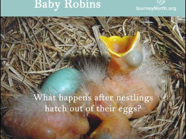 Infographic of baby robin in nest with open beak
