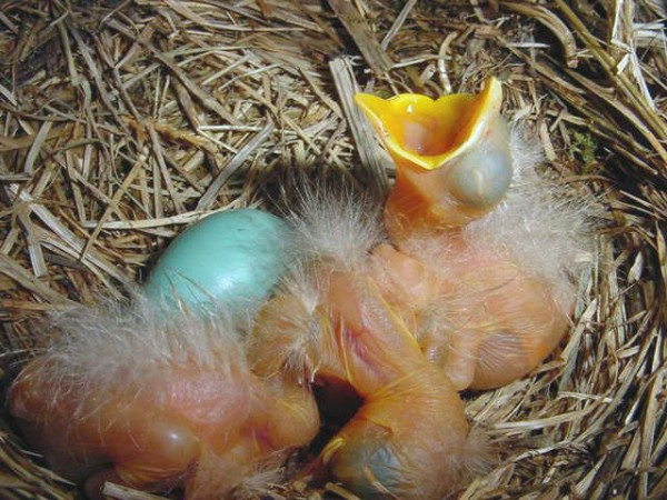 Image of baby robins in nest with open beak